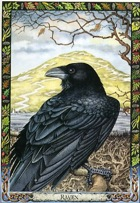 Druid Animal Oracle Raven